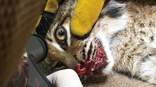 Bobcat Makes Lucky Escape From Car Crash: WILDEST ANIMAL RESCUES - Video