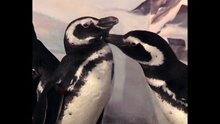 Penguin Wedding - Video
