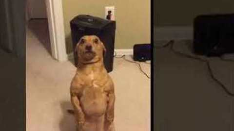 Silly Dog Begs For Treats In An Upright Standing Posture