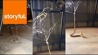 Snake Gets Trapped in Redback Spider's Web - Video