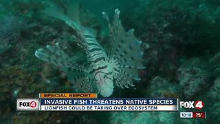 Growing lionfish population threatening to crowd out the native species in Florida waters - Video