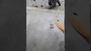 Fearless Raccoon Won't Leave Man and His Dog Alone