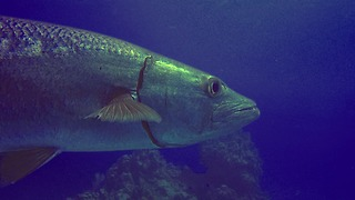 Scary looking barracuda circle within inches of divers - Video