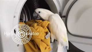 Helpful Cockatoo Loves Assisting Her Mom With Laundry - Video