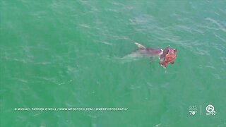 VIDEO: Hammerhead shark attacks goliath grouper off Singer Island