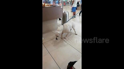 Police dog refuses to work after sniffing out crumbs in Italian airport