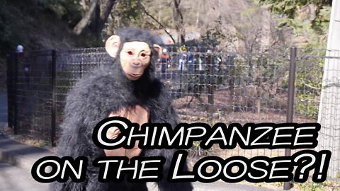 Chimpanzee on the Loose?!