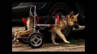 Puppy Gets Wheelchair