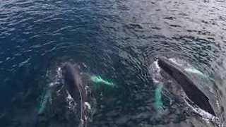 Drone Footage Shows Humpback Whales Off Newfoundland Coast - Video