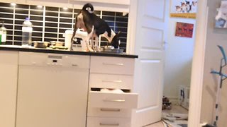Hidden camera exposes Basenji's master thief skills