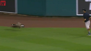 Watch: Literal Wild Goose Chase Steals the Show at Angels-Tigers Game