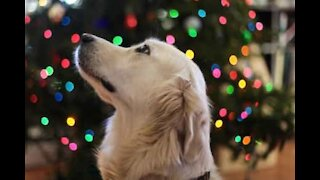 Dog helps owner decorate Christmas tree