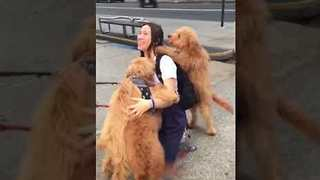 Extremely Happy Woman Is Bombarded by Goldendoodles
