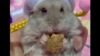 Haute Couture Hamster Chows Down on Yummy Treat - Video