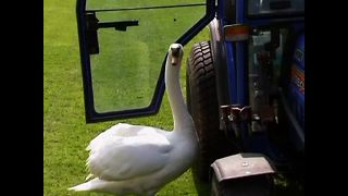 Swan Falls In Love With Tractor - Video