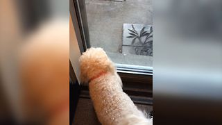 Dog Can't Figure Out Glass Door