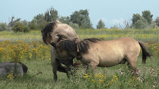 Free wrestling game between two wild Konik Horses