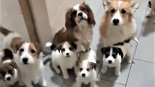 15 hungry puppies politely beg for their lunch - Video