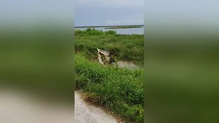 Alligator devours one of its own in Florida lake - Video
