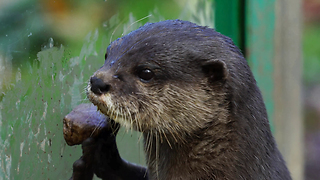When These Cute Otters Get Hungry, Their Reaction Is Priceless - Video