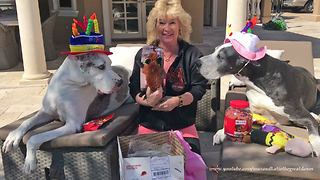 Happy Great Danes Open Birthday Gifts from You Tube Friend  - Video