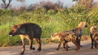 Hyena gets wire wrapped around neck as it escapes snare - Video