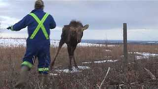 Man Saves Young Moose From Certain Death - Video