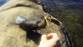 Wild aquatic bird comes up on shore to be hand fed a fish