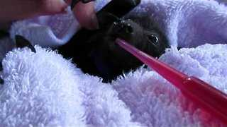 Young Bat Bares its Teeth During Feeding Time - Video