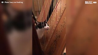 "Cat ""plays"" harp with tongue"