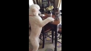 Poodle attempts to play with cautious cat