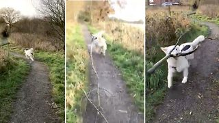 Persistent German Shepherd cheerily drags massive stick behind her - Video