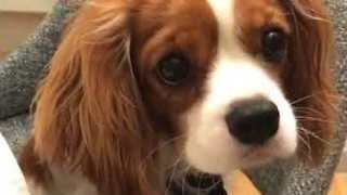 Classy Puppy is Fed Carrots With Chopsticks - Video