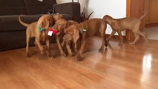 Who Said Sharing Is Caring? Adorable Clip Shows Puppies Fighting Over Toy