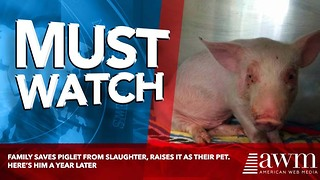 Family Saves Piglet From Slaughter, Raises It As Their Pet. Here's Him A Year Later - Video