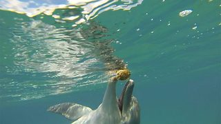 "Adventurous Dolphin Gets High On Puffer Fish, Then ""Passes"" It To Divers - Video"