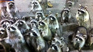 Hungry Raccoons Surround Father And Daughter - Video