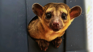Mischievous Kinkajou Is The Pet You Never Knew You Wanted: CUTE AS FLUFF - Video