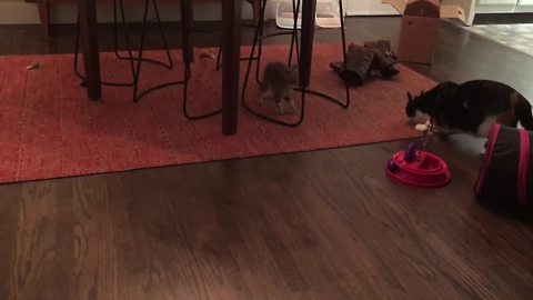 Medicated kitten gets post-anesthesia zoomies