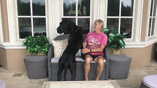 Laid Back Great Dane Enjoys Watching a Thunderstorm  - Video