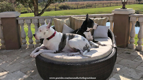 Happy Great Danes Listen To Chirping Birds While Relaxing On the Lounger