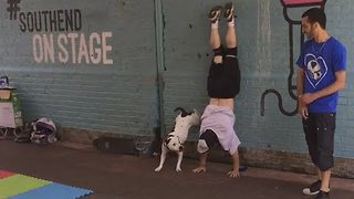Bull Terrier Becomes a Street Performer - Video