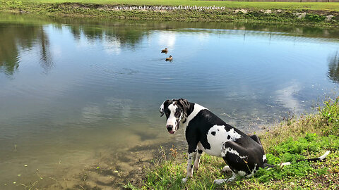 Great Dane Puppy Makes New Duck Friends