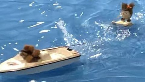 Twiggy the Waterskiing Squirrel Makes the Crowd Go Nuts