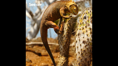 Land Iguanas Are Being Restored in the Galapagos