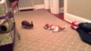 Basset Hound puppy plays with bunny rabbit - Video