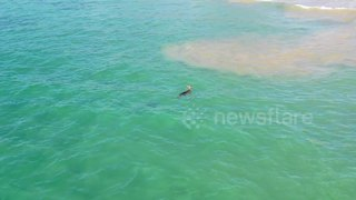 Drone footage shows kangaroo taking a dip in the ocean