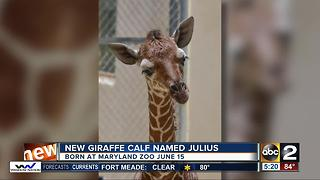 Baby giraffe at Maryland Zoo gets named - Video