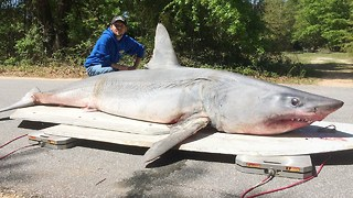 World Record Catch: Fisherman Snares 800lb Shark - Video