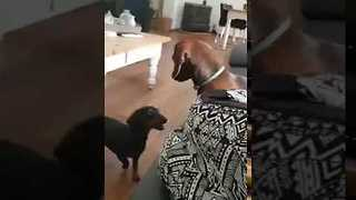 Enthusiastic Dachshund Just Wants to Play - Video